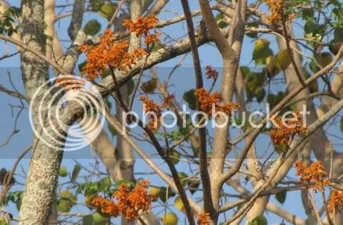 Firmiana colourata (Coloured sterculea)