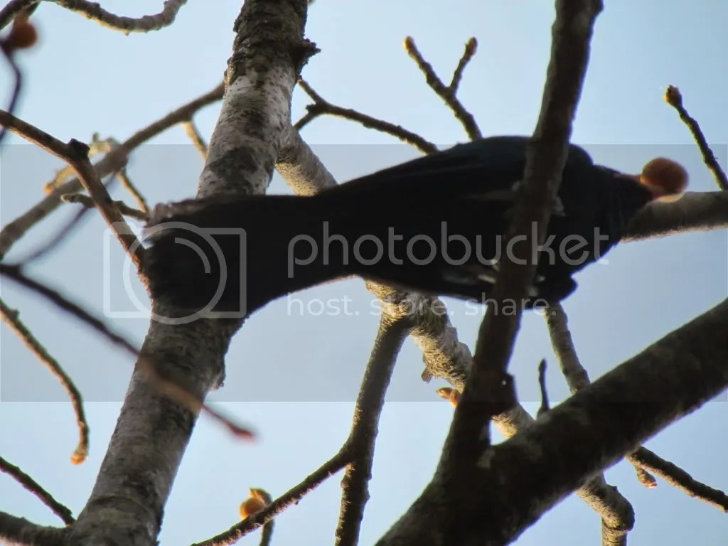 koel with fig lb 150312