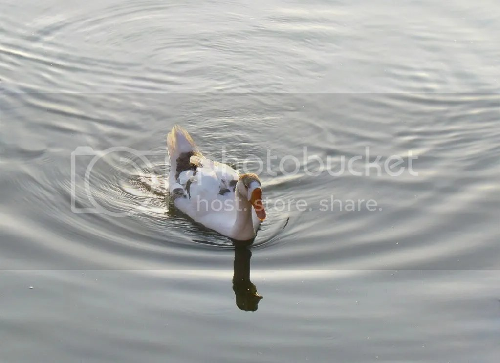 duck water drp lb 150312