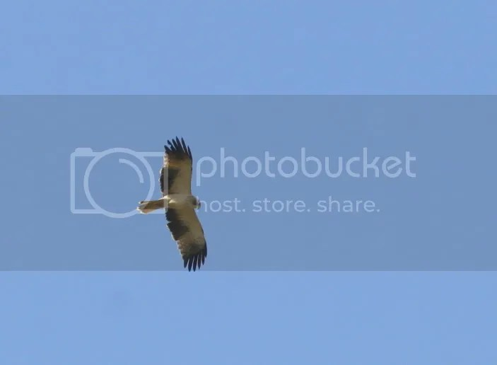 L booted eagle 291211 mnchnble