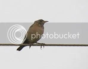 rsy pstr birds  bgz