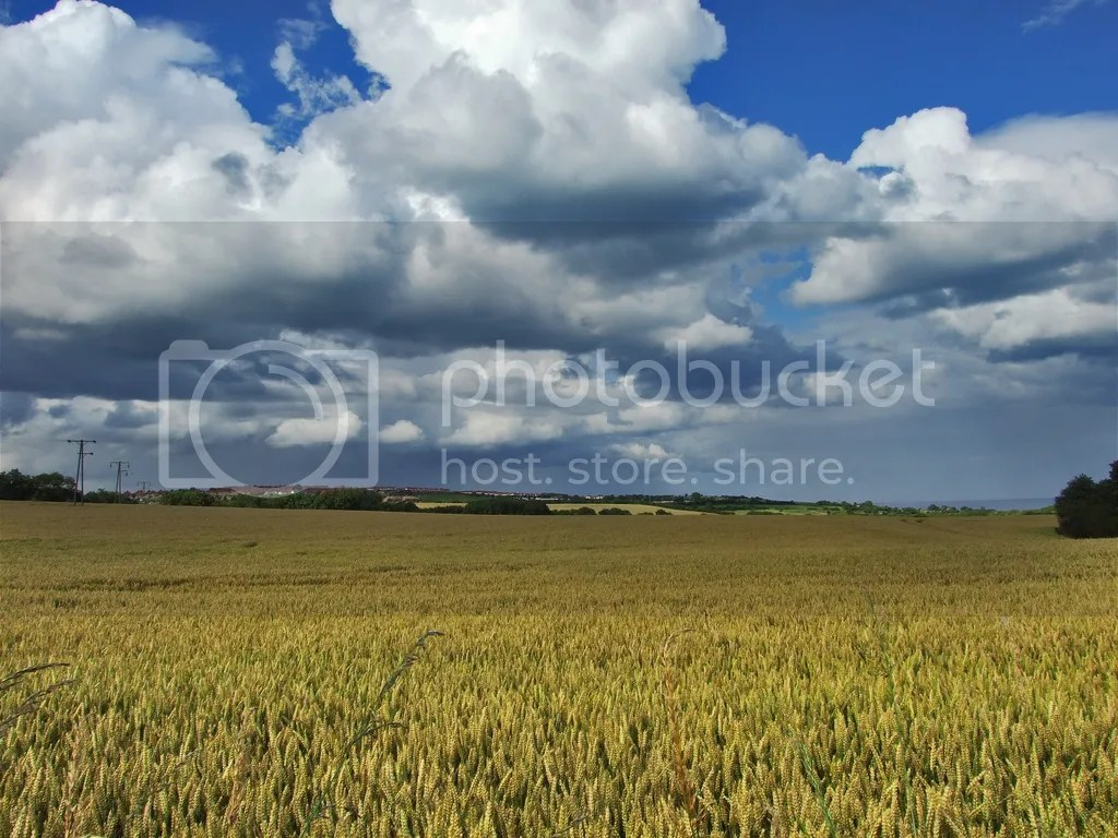 Crops growing in the English countryside