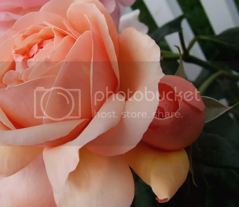 rose and child photo: mama rose and child morespringbeauties2029crop2lightlev.jpg