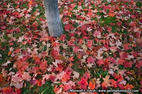 leaves on ground ©Maxwell S. Gersh