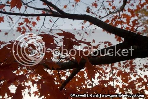red leaf tree ©Maxwell S. Gersh