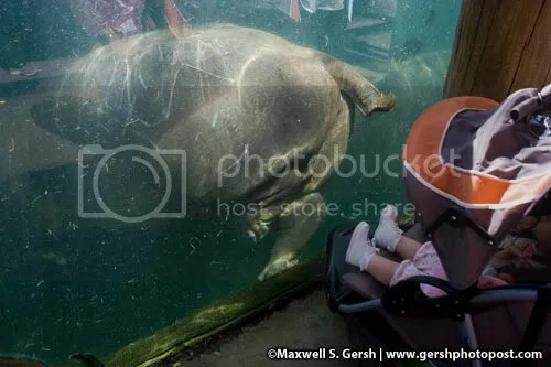hippo on glass, baby watching Maxwell S. Gersh