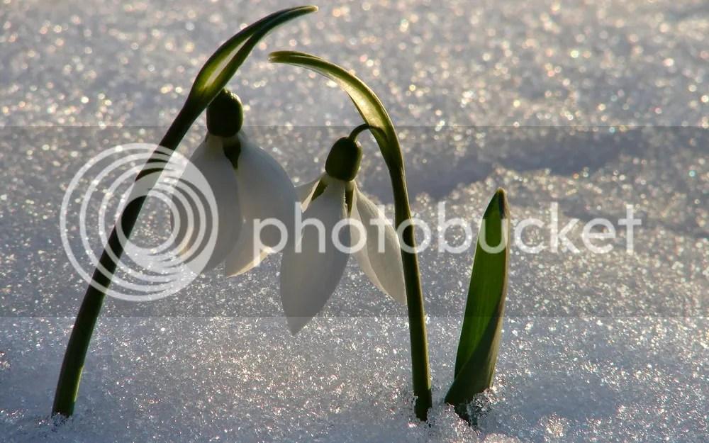 https://i2.wp.com/i1150.photobucket.com/albums/o617/redsvn/FLOWER/Galanthus/Redsvn-Galanthus-01.jpg