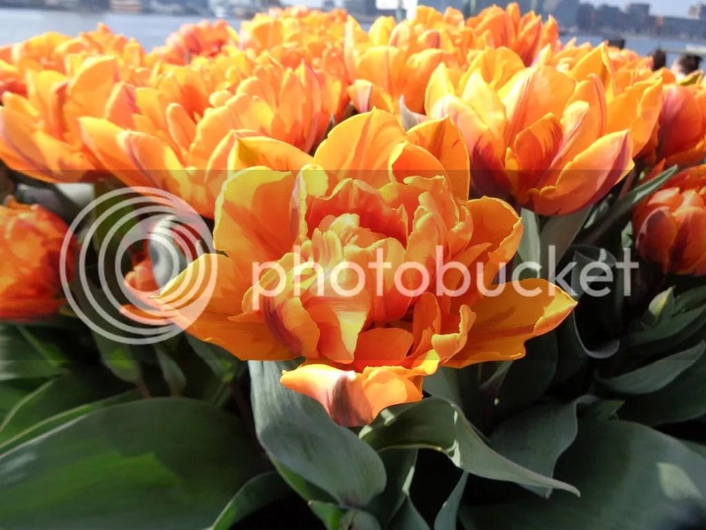 photo Tulips_1_zpshfijw0dd.jpg