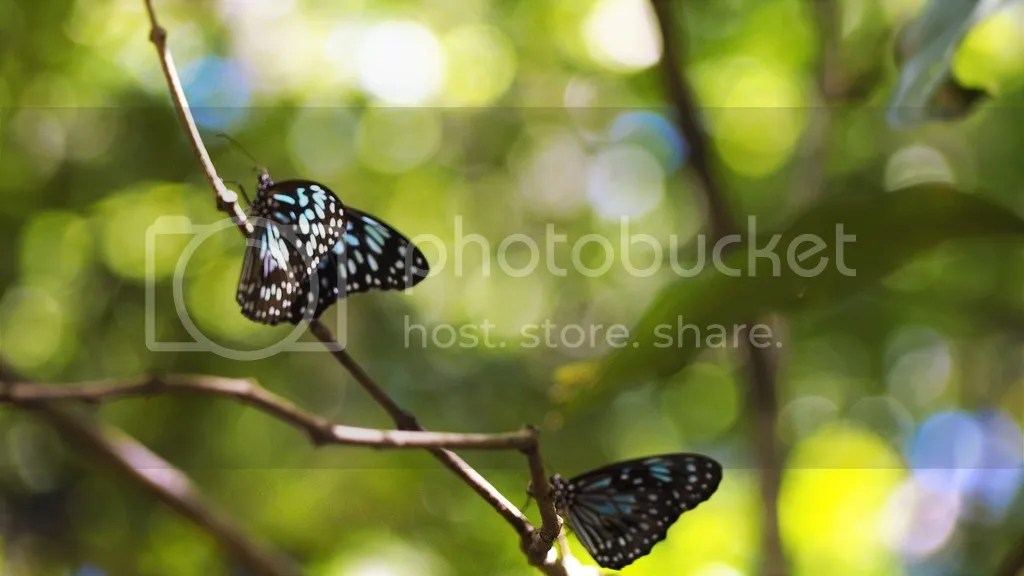photo Blue_Tiger_Butterfly_Magnetic_Island_2_zpscm7mwulj.jpg