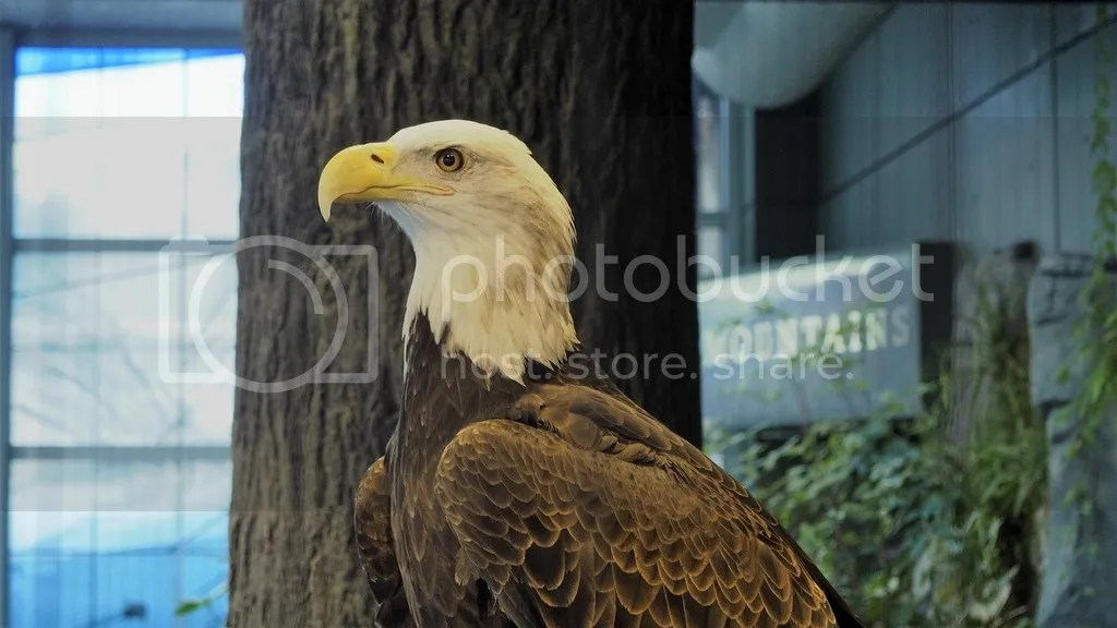 photo Bald_Eagle_zpshnmnyexr.jpg