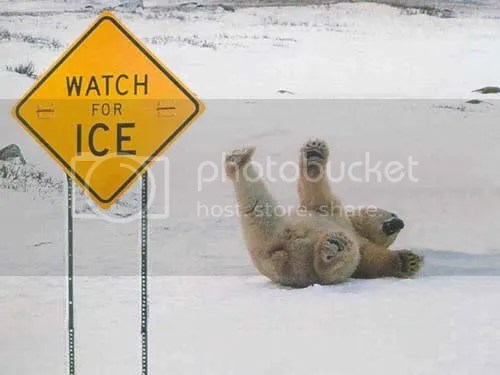 Bear falling on the ice Pictures, Images and Photos