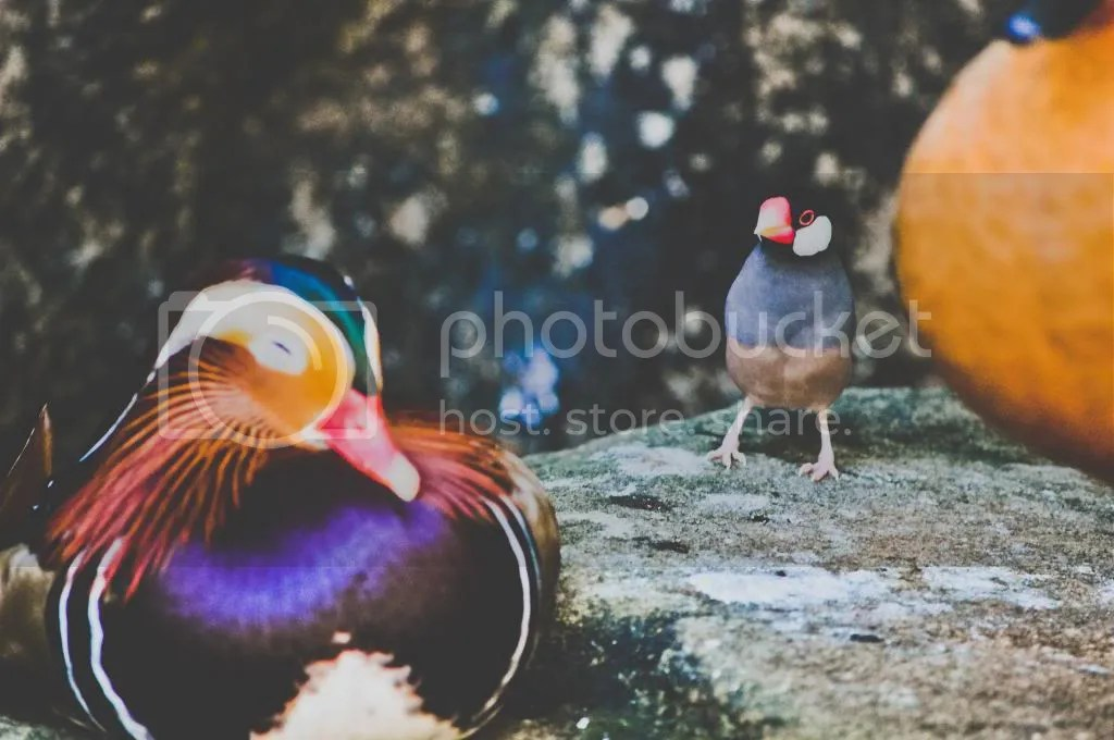 Mandarin Duck and Java Finch