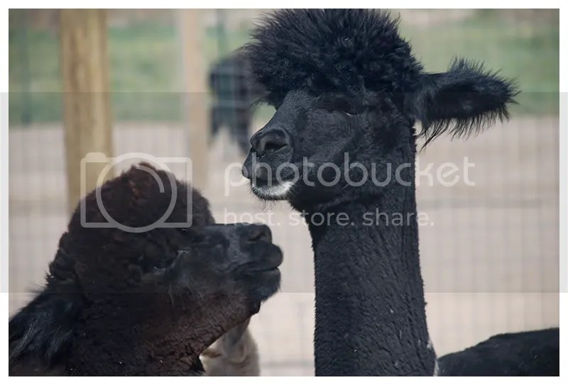Alpaca Faces