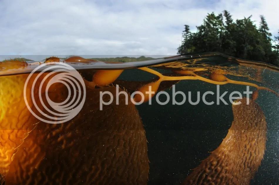 Kelp, British Columbia, Canada.