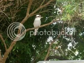 Kookaburra 02