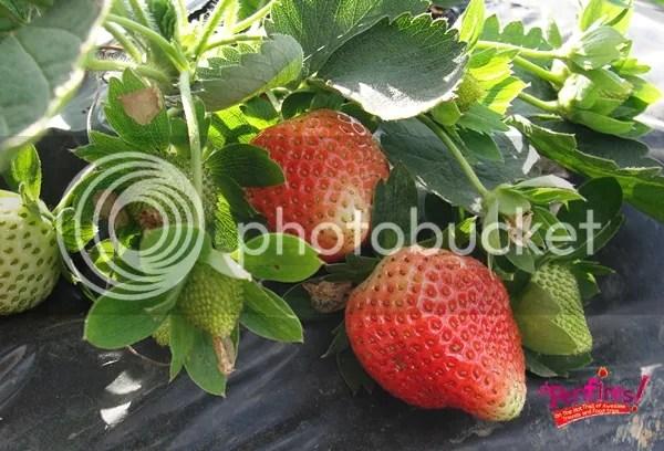 Baguio Tour - La Trinidad Strawberry Farm