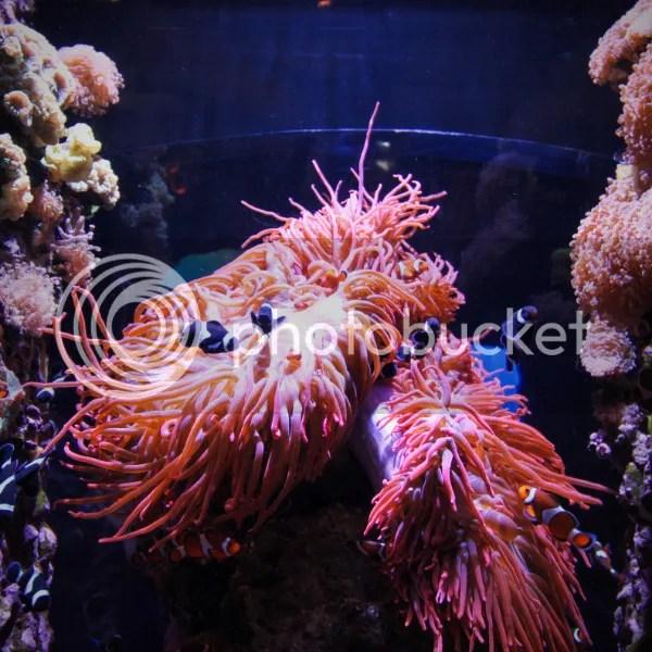 photo Monterey Bay Aquarium Black Clownfish_zps0u18eleg.jpg