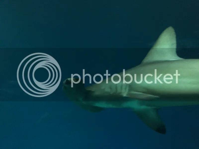 photo Monterey Bay Aquarium Hammerhead Shark_zpsa81bh6qb.jpg