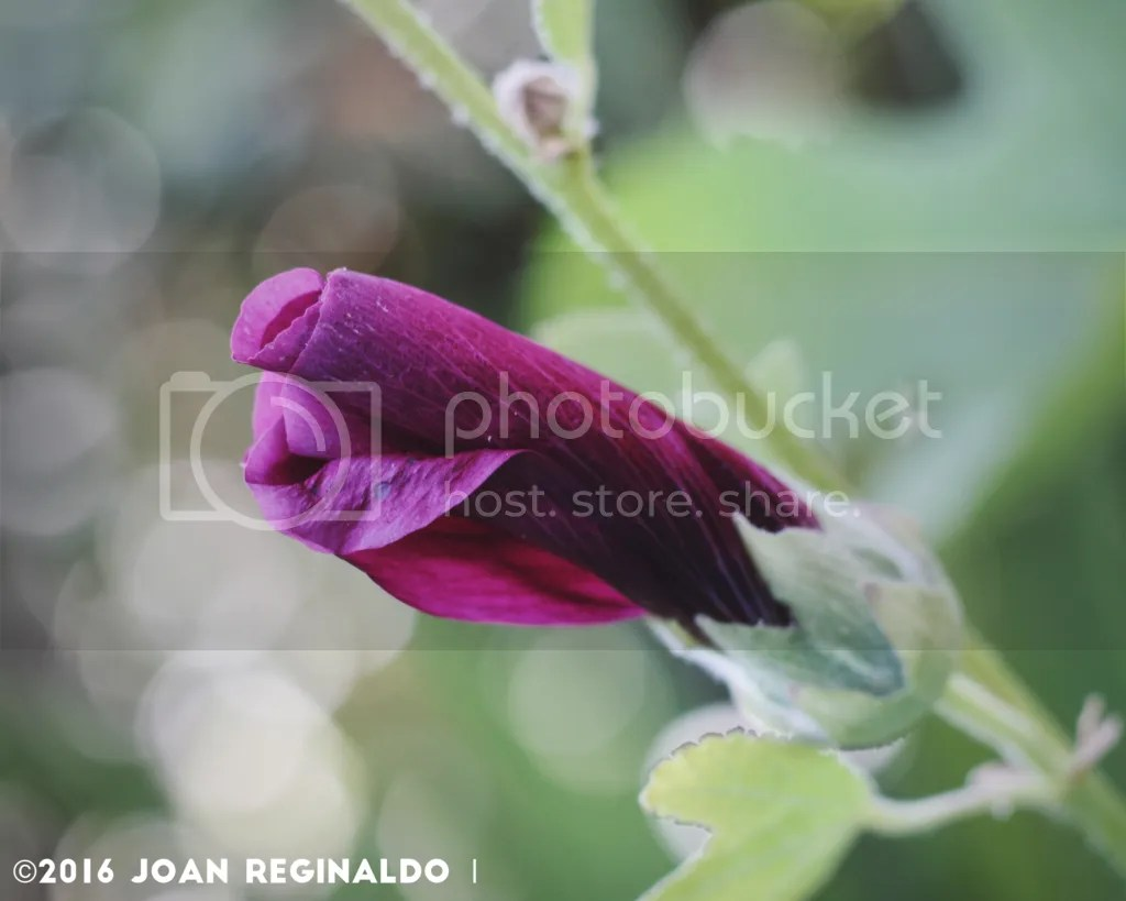 photo Purple Hollyhock bud_zpsdbwnoyec.png
