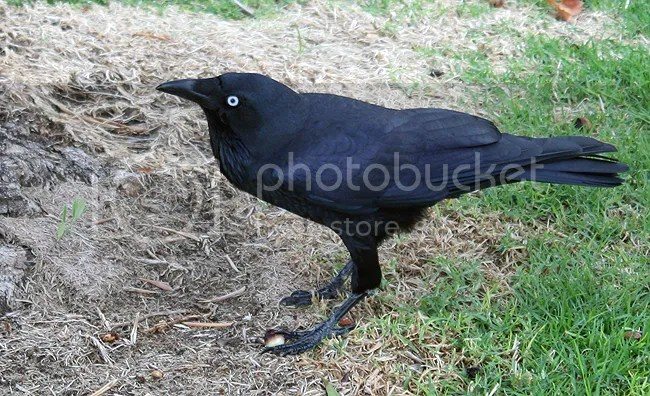 raven. photo by Ravenari