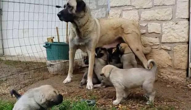 Kangal köpekleri yavrularını neden yer? İşte yanıtı 1