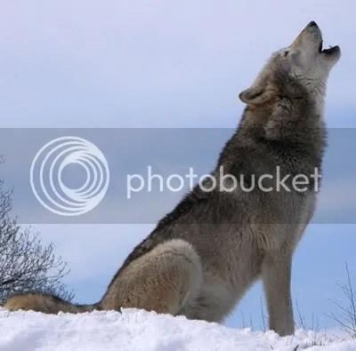 photo wolfhowl-1.jpg