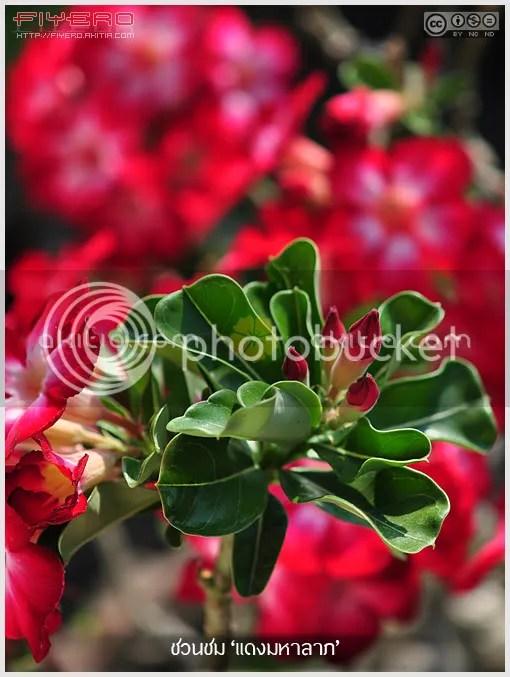 ชวนชมแดงมหาลาภ, ชวนชมสี, Adenium, ดอกสีแดง, ไม้แล้ง, ไม้โขด, ไม้ดอก, ไม้ประดับ, ต้นไม้, ดอกไม้, aKitia.Com