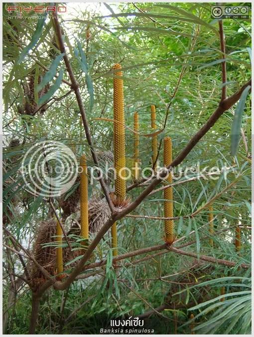 แบงค์เซีย, Banksia spinulosa, Hairpin Banksia, ไม้ออสเตรเลีย, ไม้แปลก, ดอกสีเหลือง, ต้นไม้, ดอกไม้, aKitia.Com