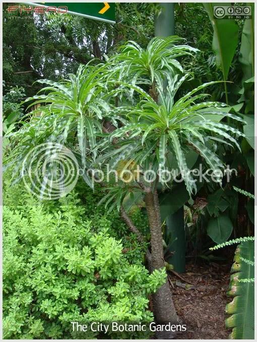 สวนพฤกษศาสตร์กลางเมืองบริสเบน, city botanic gardens, Brisbane, สวนต้นไม้, บริสเบน, ออสเตรเลีย, ต้นไม้, ดอกไม้, aKitia.Com