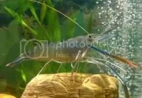 Grow out Farming of the Giant Freshwater Prawn aquabusiness