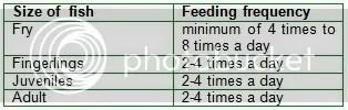 Feeding of Tilapia aquabusiness