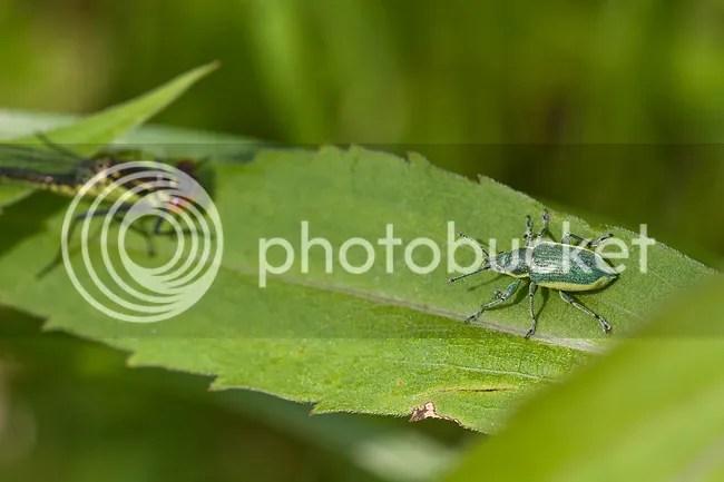 Chlorophanus viridis