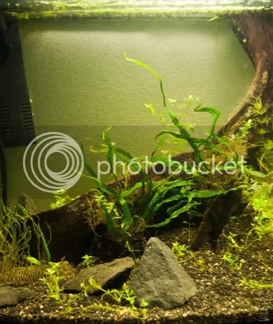 Amazon Frogbit Australia