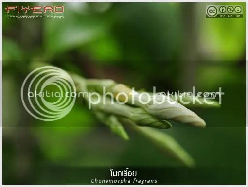 โมกเลื้อย, โมกหอม, Chonemorpha fragrans, Chonemorpha macrophylla, ไม้ดอกหอม, ไม้หายาก, ไม้เลื้อย, ไม้เถา, Frangipani Vine, ต้นไม้, ดอกไม้, aKitia.Com