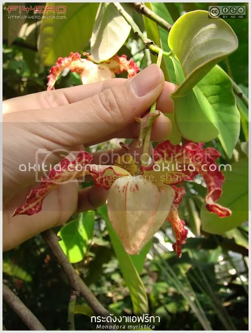 กระดังงาแอฟริกา, Monodora myristica, วงศ์กระดังงา, ไม้ดอกหอม, ไม้แปลก, ไม้หายาก, ไม้ยืนต้น, ดอกสีแดง, ต้นไม้, ดอกไม้, aKitia.Com