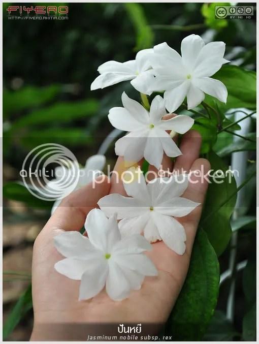 ปันหยี, มะลิปันหยี, มะลิ ร.5, มะลิป่า,  มะลิวัลย์ดง, ไม้เลื้อย, ไม้หายาก, ไม้ไทย, ดอกสีขาว, ต้นไม้, ดอกไม้, aKitia.Com