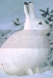 snowshoe hare photo: Snow shoe Rabbit Snowshoe_hare.jpg