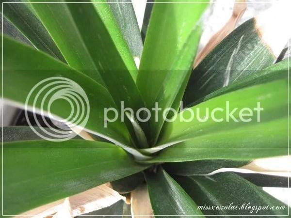 Ananas Blätter