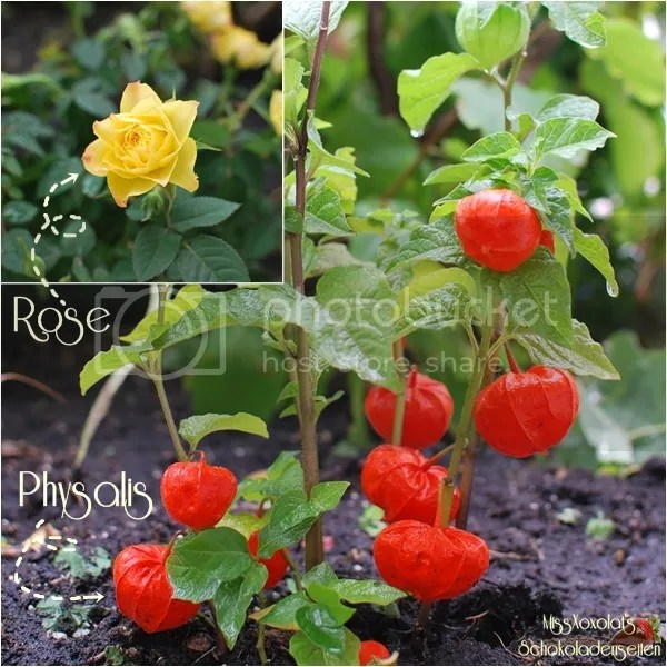 Rose. Physalis.