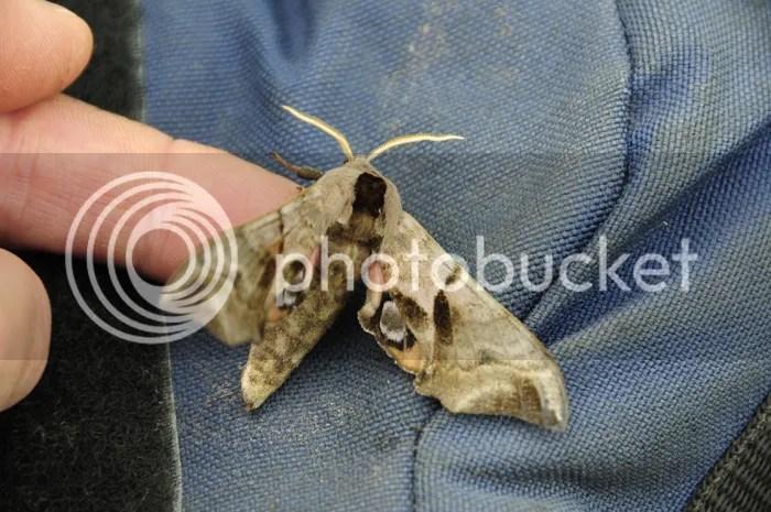 Eyed Hawk Moth caught in Kineton moth trap