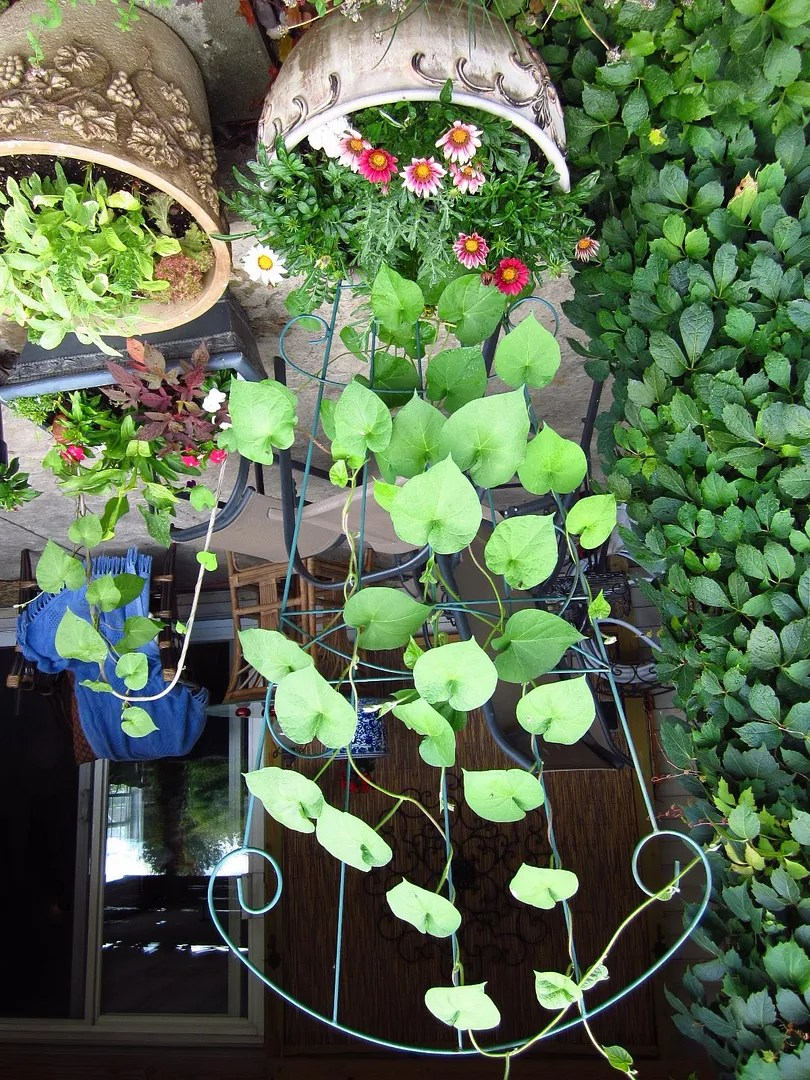 Morning Glories Planted From Seed / HomeStagingBloomingtonIL