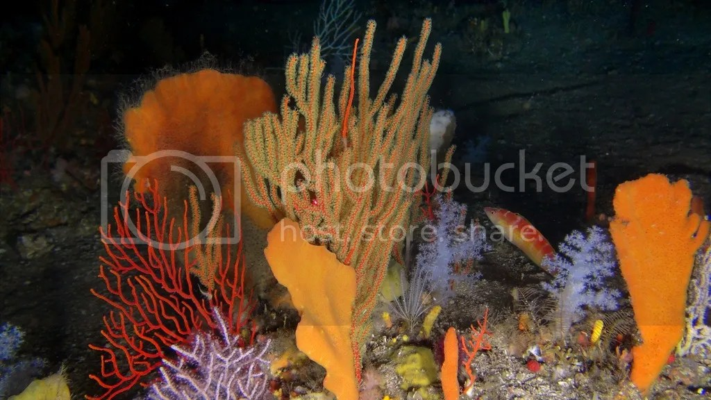photo Seafans and sponges on a Toti deep reef 69m 002_zpsdii0elfy.jpg