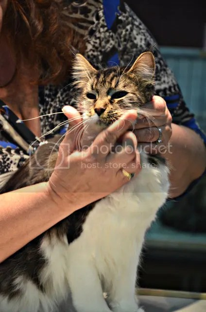 cat show coon