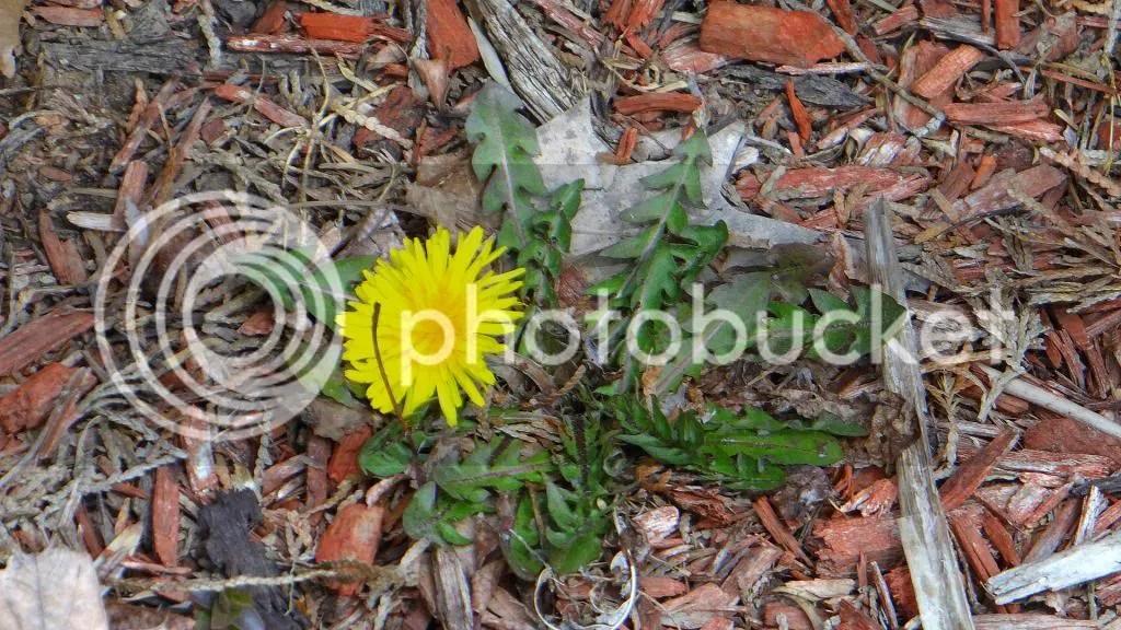 weed   150313 stl photo DSC01863.jpg