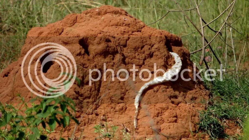 cobra skin 101112 gulakmale