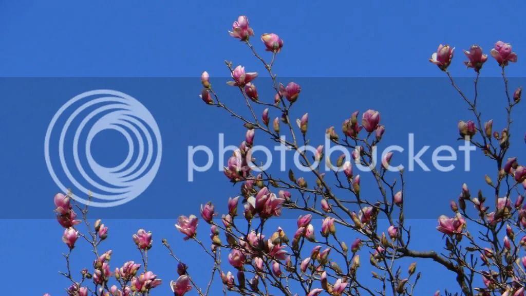 redbud? 050413 fp photo DSC03571.jpg