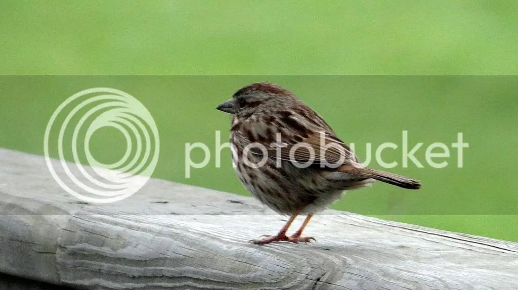 Song Sparrow 040513 fp photo DSC06066.jpg