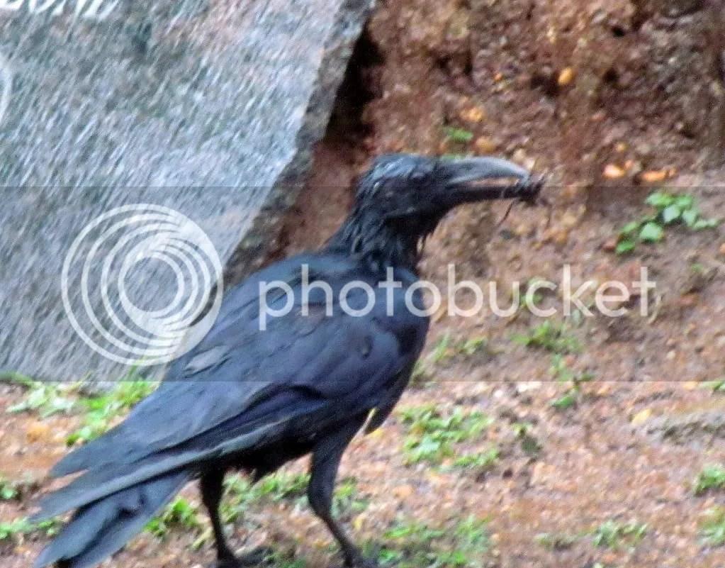 crow w beetle bg 090812