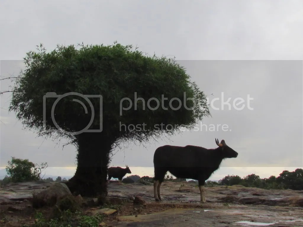 gaur and calf bg 090812