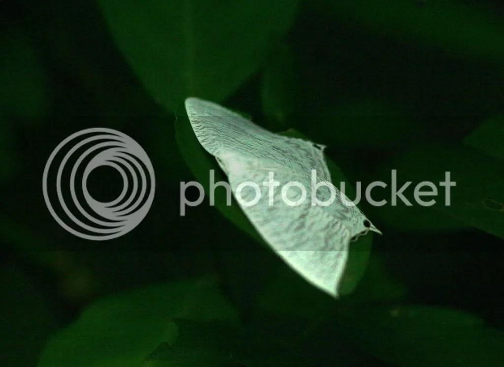 Luna Moth 080912 uganiyam